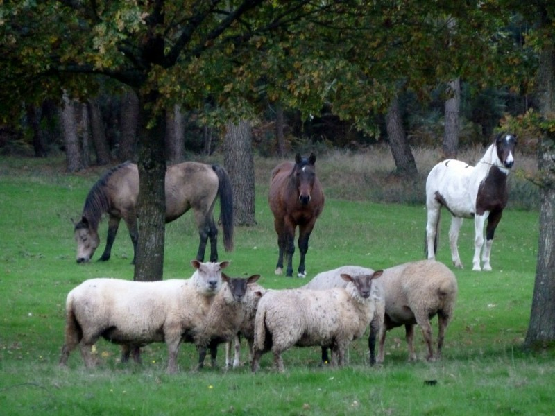 chevaux moutons
