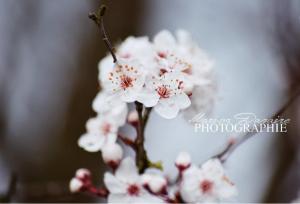 fleurs prunier