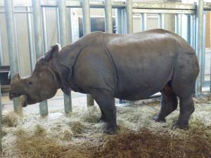 Rhinoceros iniden